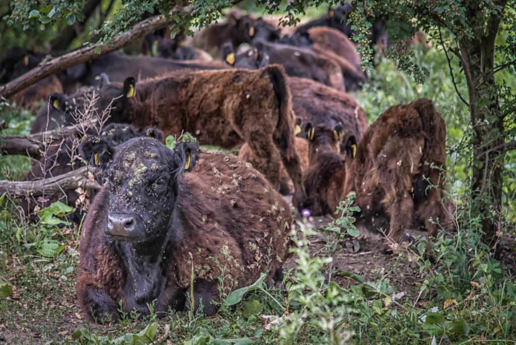 Tierfotografie Köln – frei lebende Rinderherde